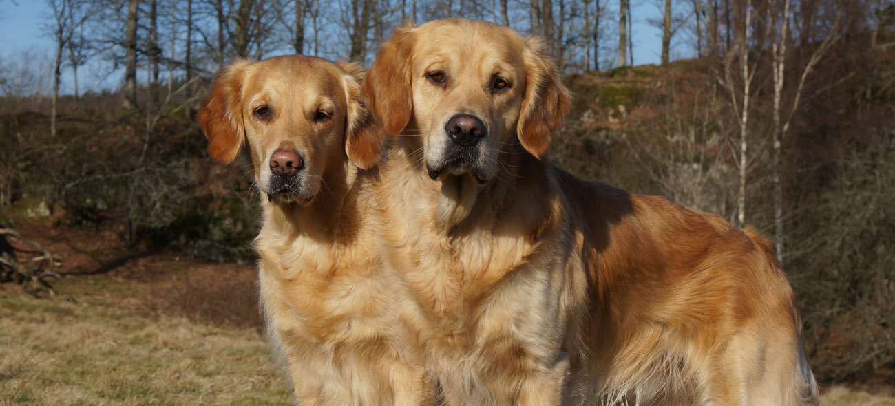 Guldkullens Kennel Golden Retriever